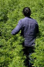Semi di Cannabis Legale